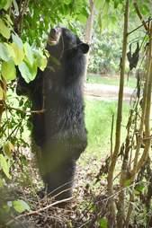 'Pet' bear Joy at sanctuary in Thailand