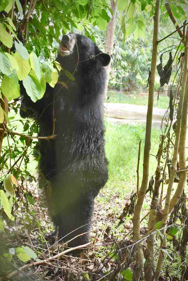 'Pet' bear Joy at sanctuary in Thailand