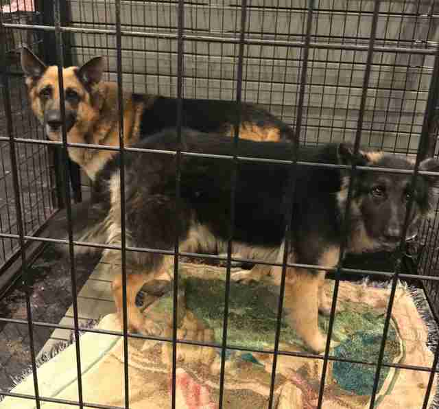 Bonded dogs saved from hoarding situation