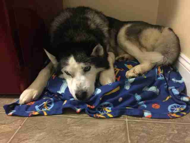 Husky dog hiding in the corner of a laundry room