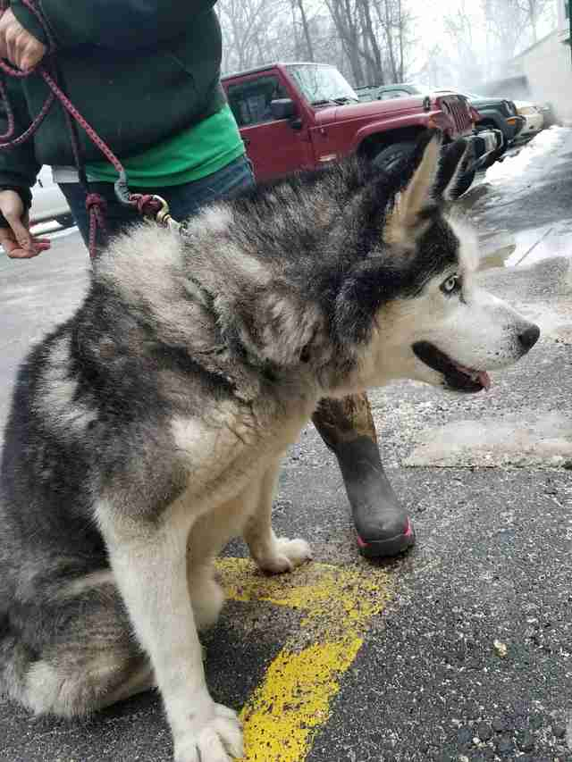 Rescued husky on leash