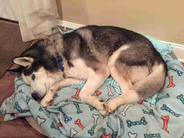 Husky dog sleeping in bed