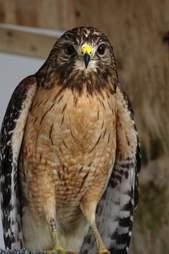rescue hawk lamp kentucky