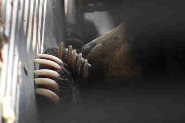 Sloth bear looking through bars of enclosure