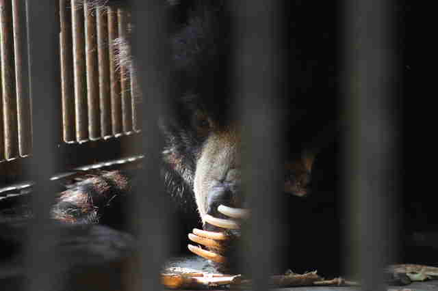 Sloth bear locked up in zoo cage
