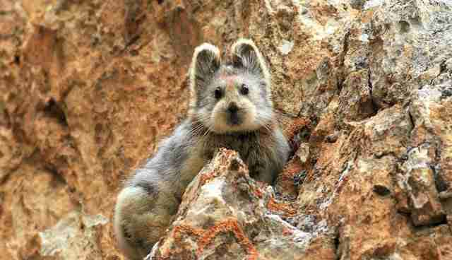 ili pika china rare teddy bear mammal