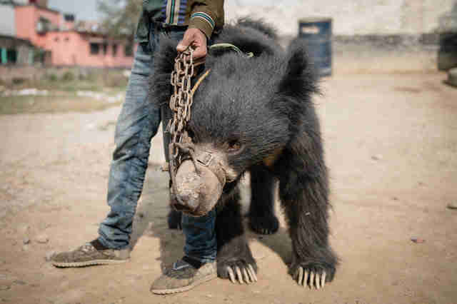 Man holding chain tether to dancing bear
