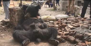 Sloth bear chained up outside