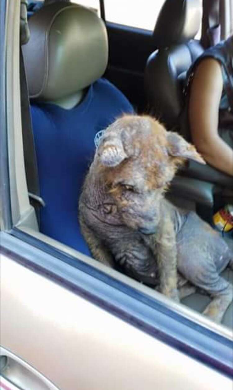 Asher the chow rescued from Mexico