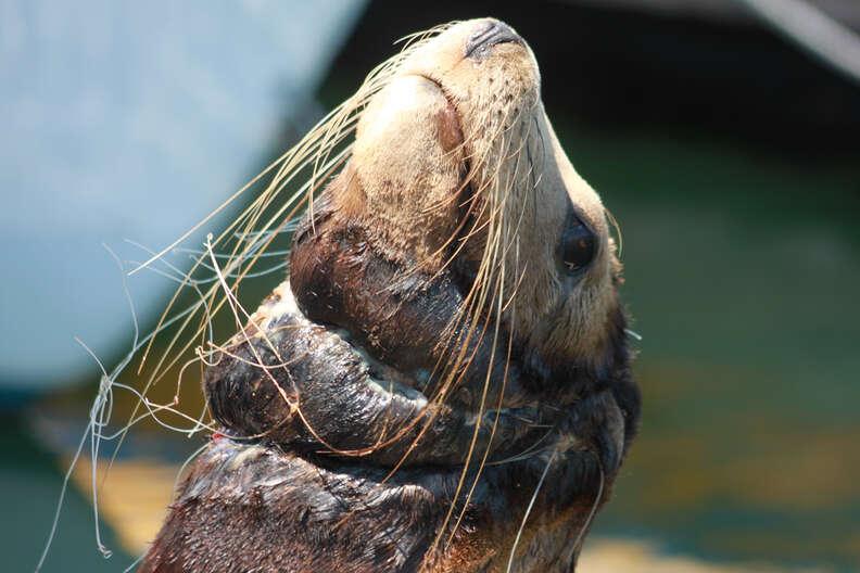 Sea lion caught in fishing net