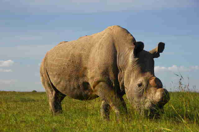 Sudan the last northern white rhino just died