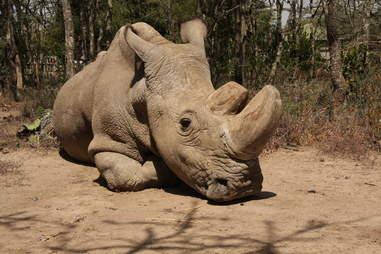 Sudan last northern white rhino dies