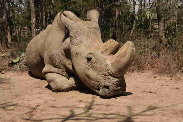 Sudán muere el último rinoceronte blanco del norte