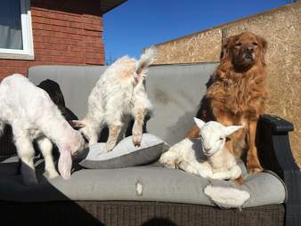 Rescue goats and lamb with retriever at Ontario sanctuary