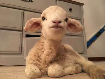 Baby lamb runt saved by Ontario sanctuary