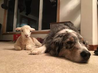 Rescue lamb with Australian shepherd at Ontario sanctuary