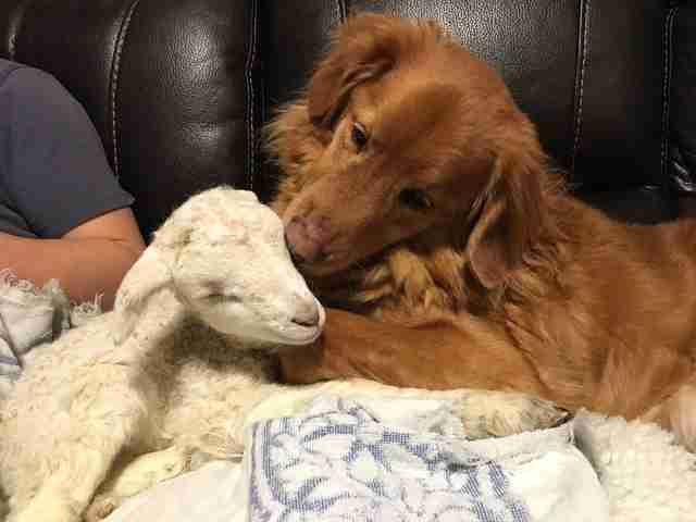 Retriever kissing rescued lamb