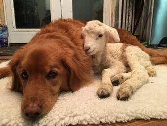 Golden retriever and lamb BFFs