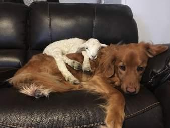 Lamb sleeping on Golden Retriever