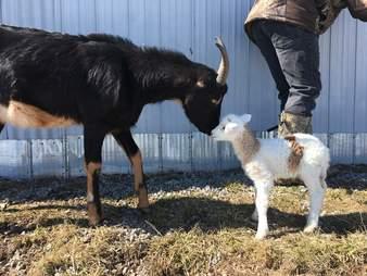 Baby lamb meeting goat at Ontario sanctuary
