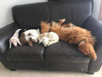Rescue goats and lamb with golden retriever at sanctuary