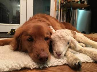 Rescue lamb and dog BFF