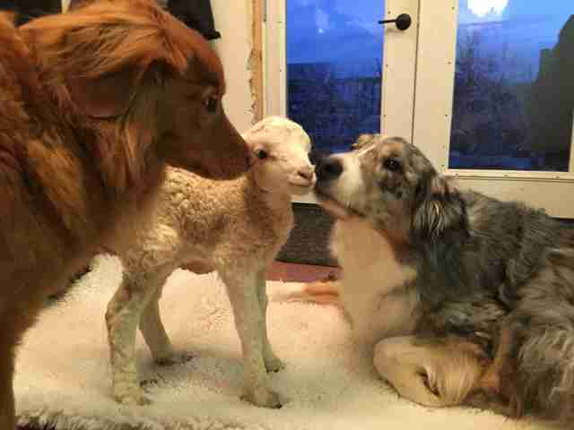 Rescued lamb meets dogs at sanctuary