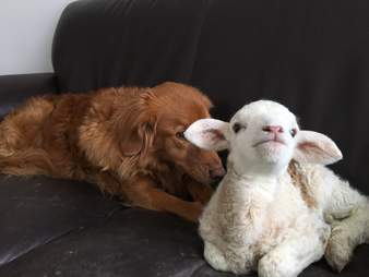Baby lamb and dog BFFs
