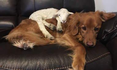 Sick lamb snuggling Nova Scotia duck tolling retriever