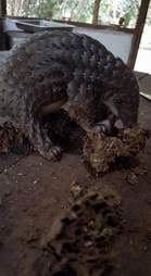 Pangolin saved from hunters in Liberia