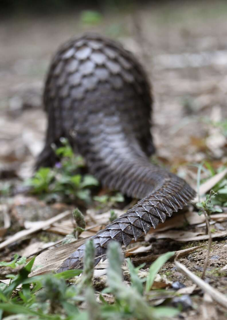 Freed pangolin running off into the woods