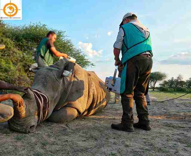 White rhino who survived poaching attempt in South Africa