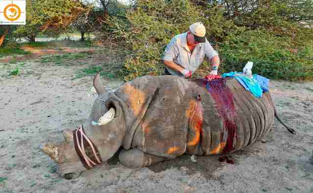 White rhino getting treated for poaching attempt in South Africa