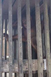 Baby orangutan locked up in wooden cage