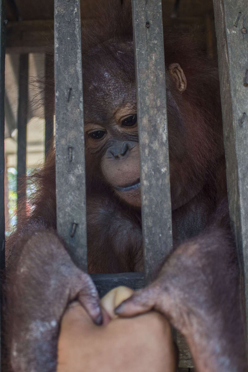 Orangutan grabbing someone's hand