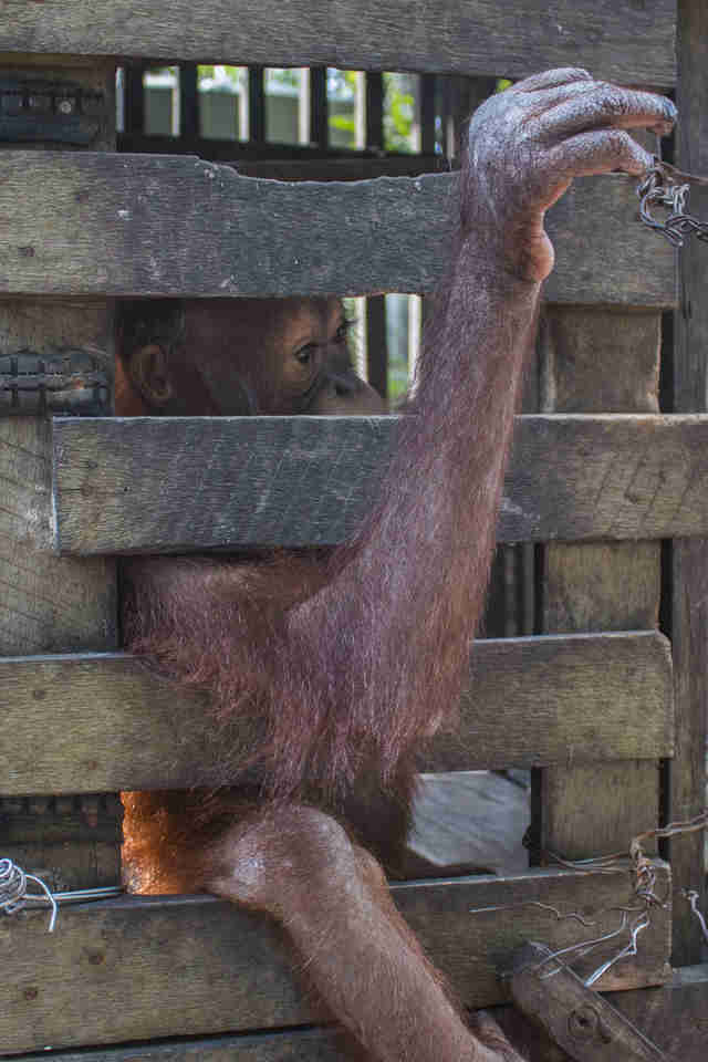 Baby orangutan locked up in wooden cage