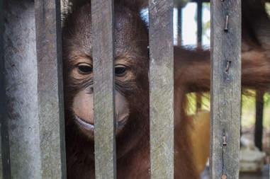 Baby orangutan locked up inside cage