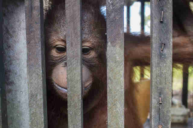 Baby orangutan locked up inside cage