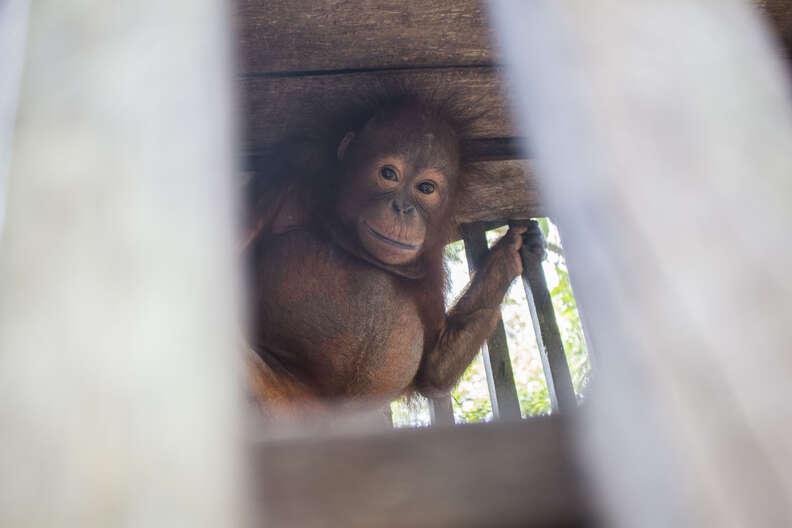 Baby orangtuan locked inside of cage