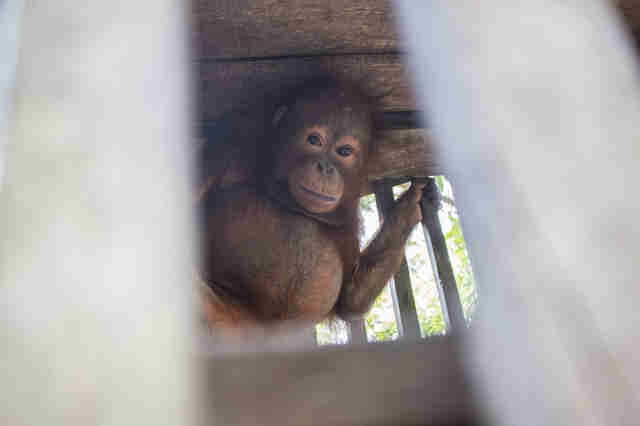 Baby orangtuan locked inside of cage