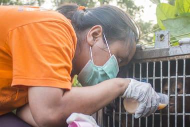 Woman giving baby orangutan bottle of fluids