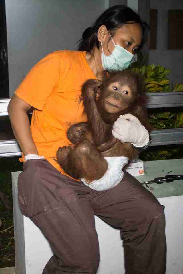 Baby orangutan cuddling with one of his rescuers