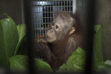 Baby orangutan inside transport crate