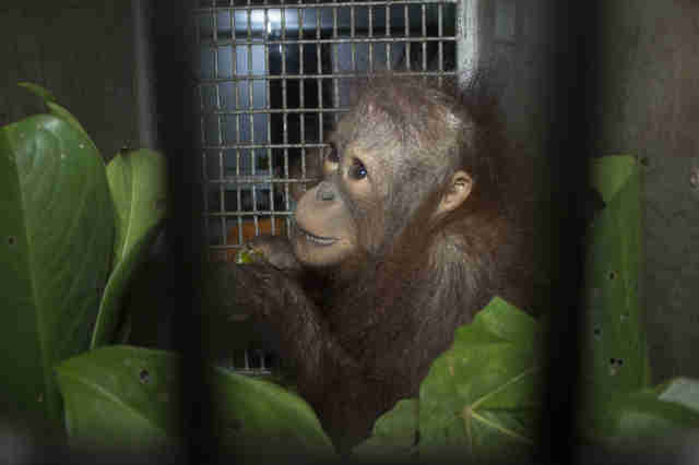 Baby orangutan inside transport crate