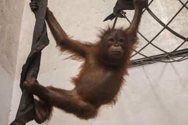 Baby orangutan swinging around in quarantine center