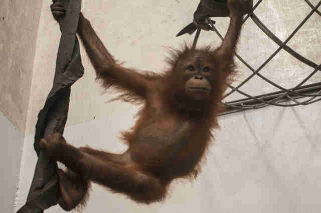 Baby orangutan swinging around in quarantine center