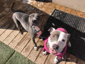 pit bull friends chicago