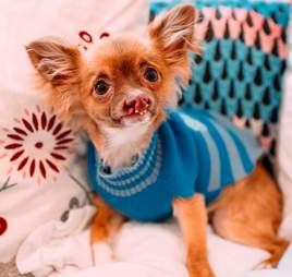 chihuahua with a cleft lip