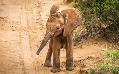 Newborn elephant calf