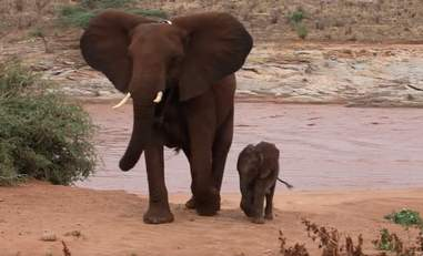 Elephant and her baby emerging from the river
